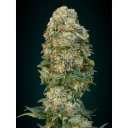 Afghan Skunk  ·  Advanced Seeds
