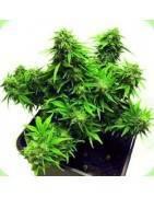 Autoflowering Feminised Seeds
